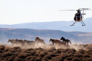 A helicopter is used to herd wild Mustangs into temporary corrals before they are loaded into trailers and hauled away near Yerington, Nov. 4, 2013.