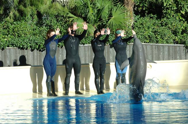 Become a trainer for a day with bottlenose dolphins, one of the featured packages available at the Siegfried & Roy Secret Gardens and habitat at the Mirage.