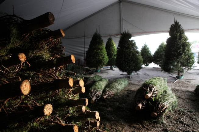 The tree storage area at Frosty's Christmas Trees in Las Vegas on Thursday, November 29, 2012.