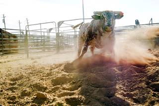 A bull named Big & Rich, owned by JK Rodeo Company, plays in an exercise pen at the National Finals Rodeo livestock area on UNLV campus Tuesday, December 4, 2012.
