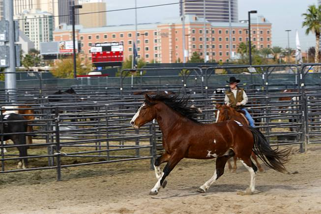 Painted Valley, 2010 PRCA Saddle Bronc Horse of the Year, runs in an exercise area at the National Finals Rodeo livestock area on UNLV campus Tuesday, December 4, 2012.