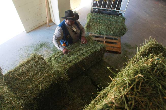 South Point barn concierge Charles Cain loads hay bales onto a forklift Thursday, Dec. 6, 2012.