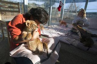 Rulia Fiske of Boston holds a four-week-old lion cub named D.J. at the Lion Habitat Ranch in Henderson  Sunday, Dec. 16, 2012. The habitat used to provide lions to the lion habitat at the MGM Grand but is now open to the public. The MGM's lion habitat closed in January 2012.