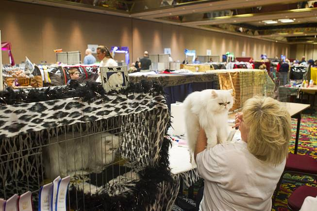 Lorraine Young of Henderson holds her cat Dante, a Chinchilla Silver Persian, while grooming the cat during the annual Cat A Lina Cat Club Championship Cat Show at the Riviera Sunday, Dec. 30, 2012.