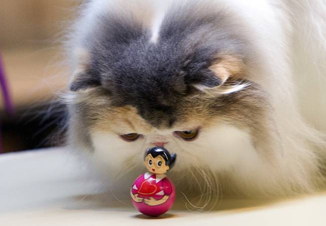 A cat looks over a wobbling toy during the annual Cat A Lina Cat Club Championship Cat Show at the Riviera Sunday, Dec. 30, 2012.