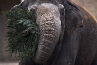 An elephant eats a christmas tree at the zoo in Berlin, Friday, Jan. 4, 2013.