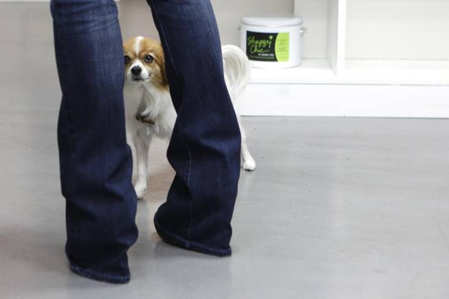 Penny Lane, a long hair Chihuahua, peeks through shop owner Kelly Petersen's legs at Shaggy Chic, Feb. 13, 2013.