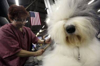 Caroll Geiser, of Rochester, N.Y., grooms Eva, a 3-year-old Old English Sheep dog, during the 137th Westminster Kennel Club dog show, Monday, Feb. 11, 2013, in New York.