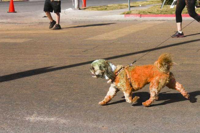 A dog covered in orange and green powder runs the 5K Color Run with its owner, Saturday, Feb. 16, 2013.