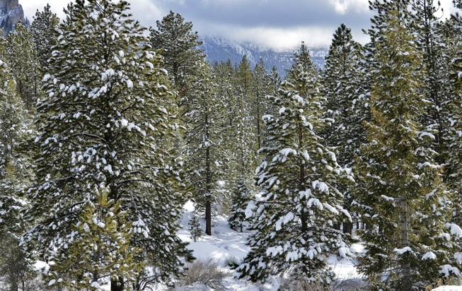 Snow capped pine trees are seen Saturday, Mar. 9, 2013 after a storm brought fresh snow to Mt. Charleston.