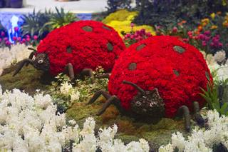 Lady bugs made of flowers are displayed during the 2013 Spring exhibit at the Conservatory & Botanical Gardens in the Bellagio Monday, March 11, 2013.