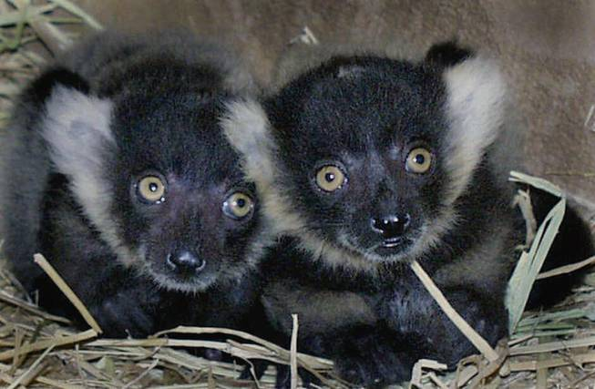 Born May 2, these black and white ruffed lemur babies, a critically endangered primate species from Madagascar, emerged from a nest box Thursday, May 24, 2001, at Happy Hollow Park and Zoo in San Jose, Calif. These births were carefully planned as a result of a worldwide cooperative breeding program known as the Species Survival Plan. This program helps preserve and protect the genetic diversity of species in captivity.