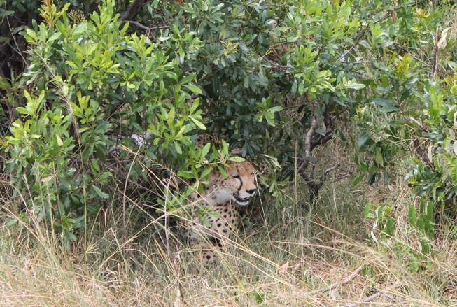 A cheetah shown in the bushes at Ol Kinyei Conservancy in southeastern Kenya.