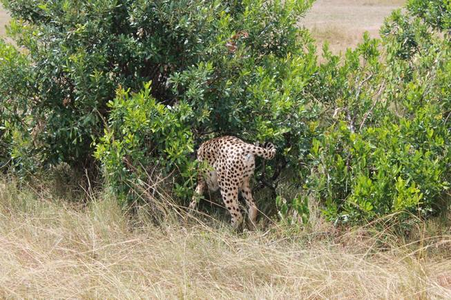 A cheetah walks into the bushes to check on its prey, a Thompson gazelle, in the Ol Kinyei Conservancy in southeastern Kenya.
