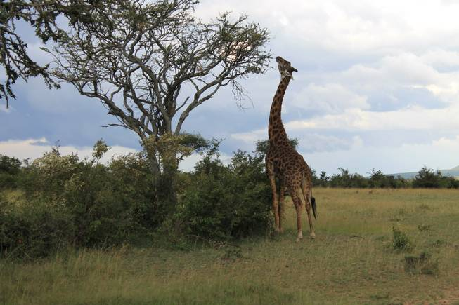 Giraffes roam the wilderness at Ol Kinyei Conservancy in southeastern Kenya.
