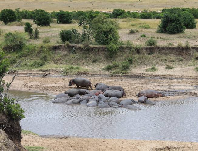 Hippos rest in a riverine on the Ol Kinyei Conservancy in southeastern Kenya.