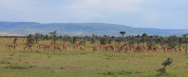 Thompson gazelles roam the Ol Kinyei Conservancy wilderness in southeastern Kenya.