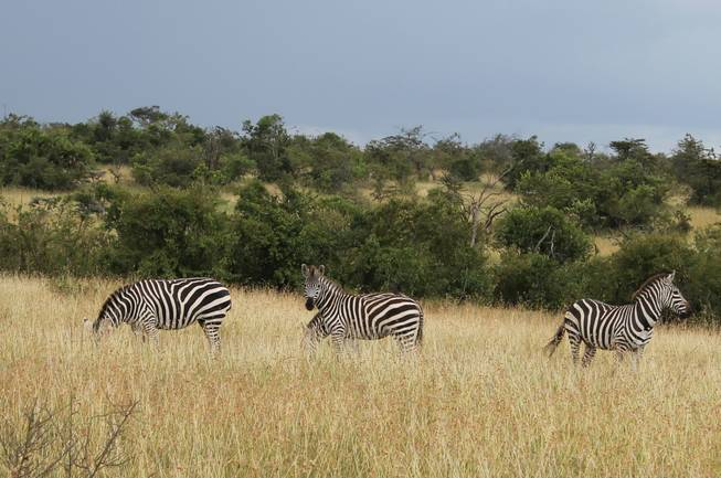 A trio of zebras roam the grassy terrain at Ol Conservancy in southeastern Kenya.