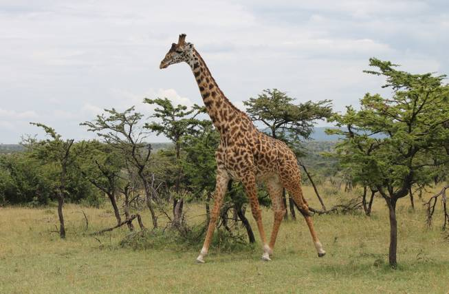 A giraffe walks among the acacia trees at Ol Kinyei Conservancy in southeastern Kenya.
