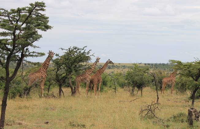 Giraffes shown on the Ol Kinyei Conservancy in southeastern Kenya.