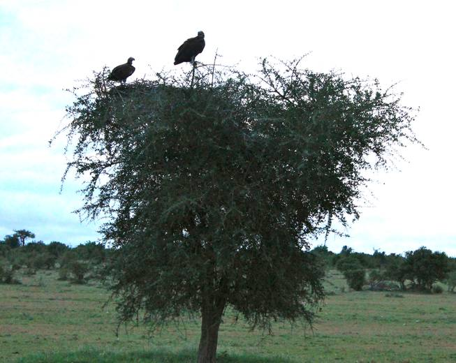 A pair of vulture overlook the terrain in the Ol Kinyei Conservancy in southeastern Kenya.