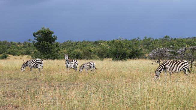 Zebras shown on the Ol Kinyei Conservancy landscape in southeastern Kenya.