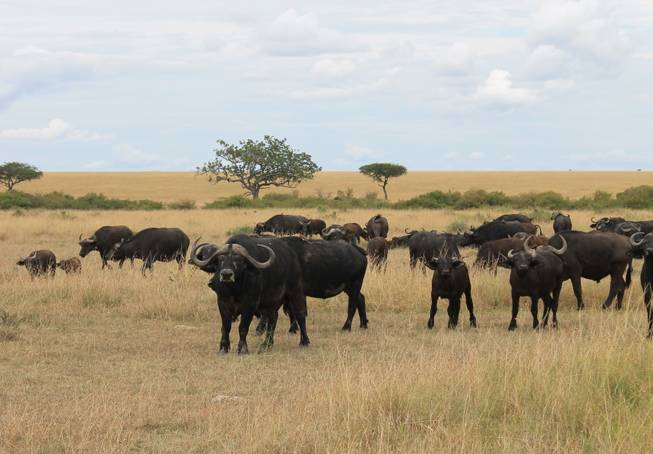 Wildebeests shown on the Ol Kinyei Conservancy in southeastern Kenya.