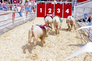 Pigs approach the finish line during the Swifty Swine pig races at the 2013 Clark County Fair, Saturday, April 13, 2013.