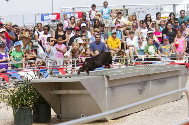 Swifty, a diving pig, jumps into the pool at the Swifty Swine attraction at the 2013 Clark County Fair, Saturday, April 13, 2013.