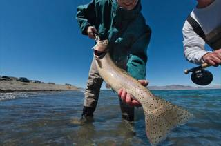 Fisherman Brian Dunn weighs a Pilot Peak strain of Lahontan cutthroat trout at Pyramid Lake in Nevada on April 18, 2013. The fish weighed six pounds. A species once thought extinct, the strain of trout has been re-discovered and returned to its original home north of Reno. It is the largest freshwater trout in the world.