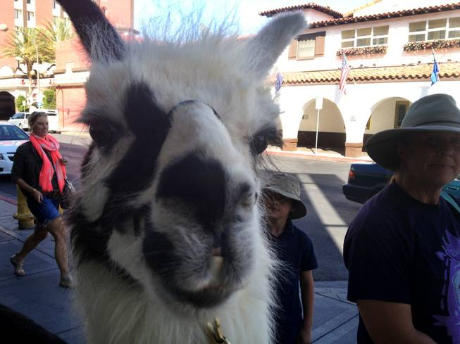 Zappos has a parade with a Llama as their leader as they head to Cashman Field to catch the 51s game, Thursday, April 25, 2013.