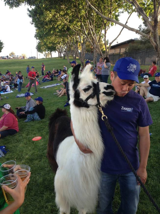 Tony Hsieh hugs a llama prior to a 51s game at Cashman Field,  Thursday, April 25, 2013.