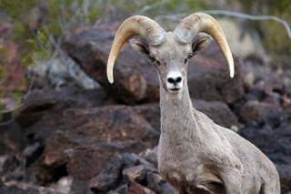 A bighorn sheep is seen along the Railroad Trail at Lake Mead Thursday, June 6, 2013.
