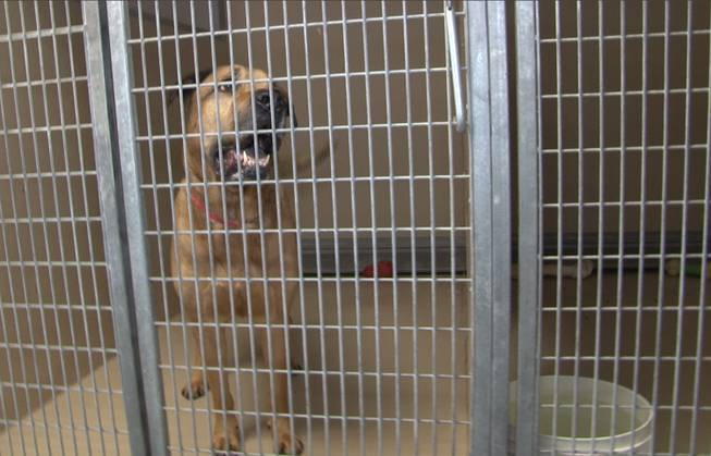 This May 9, 2013, photo provided by the city of Henderson shows Onion, a mastiff-Rhodesian ridgeback mix, at the Henderson Animal Care and Control Facility.