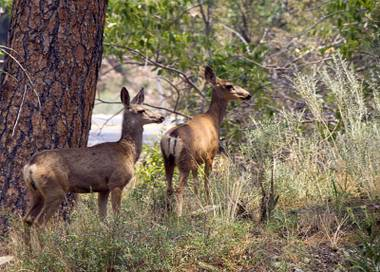 Two deer nervously eyed a line of vehicles traveling down Mount Charleston and skittered away. They had been standing at the entrance to Rainbow subdivision, the cluster of cabins and A-frame homes on a winding road that had been threatened by wildfire just a day earlier.