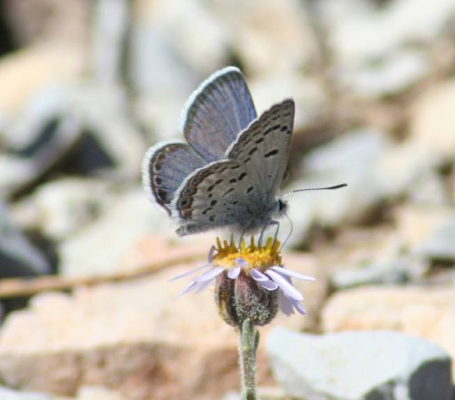 Mount Charleston blue butterfly
