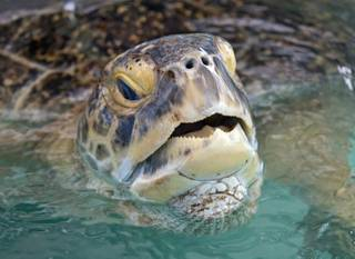 In this photo provided by the Florida Keys News Bureau, OD, a 320-pound green sea turtle, lifts his head to breathe in a transition pool at the Florida Keys-based Turtle Hospital on Wednesday, July 24, 2013, in Marathon, Fla.