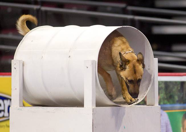 Salt Lake City Police Officer Luis Lovato's dog Onyx goes through a barrel during 23rd Annual Police K-9 Trials at the Orleans Arena Sunday, Oct. 20, 2013. Sixty teams from across the country participated in the trials. The event was sponsored by Friends for Las Vegas Police K-9's and hosted by the Las Vegas Metropolitan Police Department.
