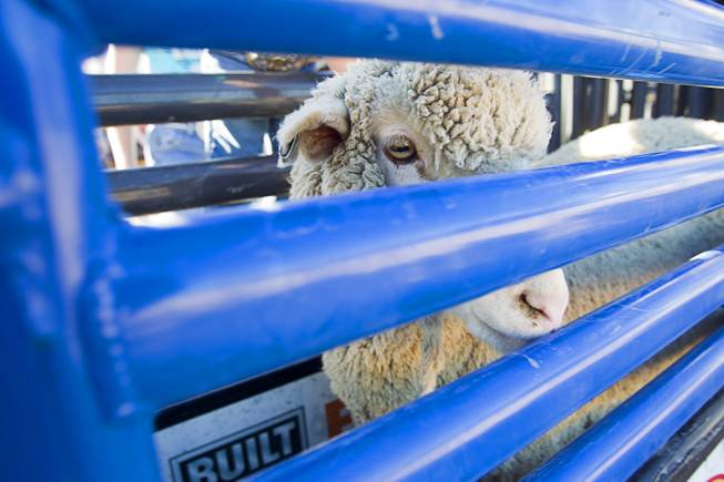 A sheep waits in a gate during a Mutton Bustin' competition at the Tyson Fan Zone & Marketplace at Mandalay Bay Thursday, Oct. 24, 2013. The event was part of the the 2013 Professional Bull Riders Built Ford Tough World Finals.