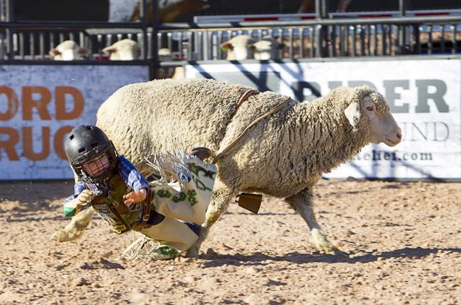 "A ""wool warrior"" falls from a sheep during a Mutton Bustin' competition at the Tyson Fan Zone & Marketplace at Mandalay Bay Thursday, Oct. 24, 2013. The event was part of the the 2013 Professional Bull Riders Built Ford Tough World Finals."