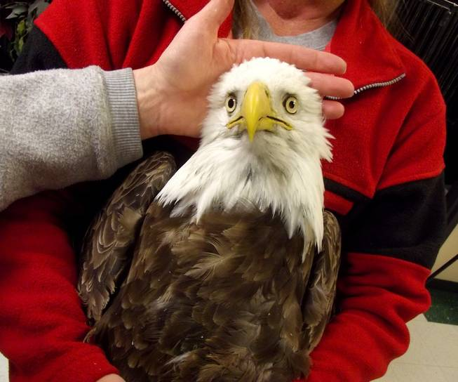 This undated file photo provided by the Wildlife Rehabilitation Center of Northern Utah shows one of four bald eagles that were brought into the center but eventually died. State wildlife officials say West Nile Virus appears to the mystery illness that's caused more than two dozen bald eagles to die in Utah recently.