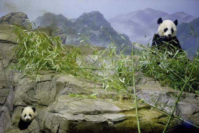 Bao Bao, left, the four and a half month old giant panda cub, makes her public debut as her mother Mei Xiang eats bamboo, right, at an indoor habitat at the National Zoo in Washington, Monday, Jan. 6, 2014.