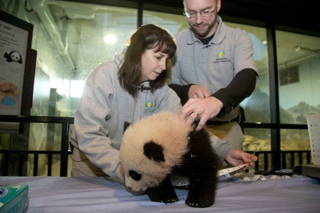Bao Bao, the four and a half month old giant panda cub has her abdominal girth measured by biologist Laurie Thompson and animal keeper Marty Dearie at the Smithsonian's National Zoo in Washington, Tuesday, Jan. 7, 2014. Bao Bao, who now weighs 17.38 pounds (7.9 pounds), was born to the zoo's female giant panda Mei Xiang and male giant panda Tian Tian.