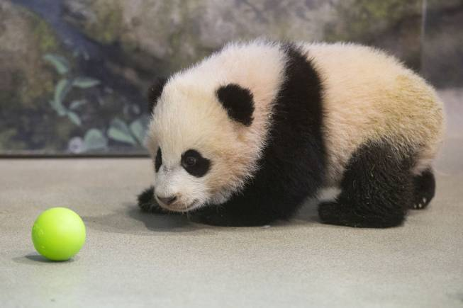 Bao Bao, the four and a half month old giant panda cub, looks at a plastic ball as she trains with animal keepers inside her habitat at the Smithsonian's National Zoo in Washington, Tuesday, Jan. 7, 2014. Bao Bao, who now weighs 17.38 pounds (7.9 pounds), was born to the zoo's female giant panda Mei Xiang and male giant panda Tian Tian.