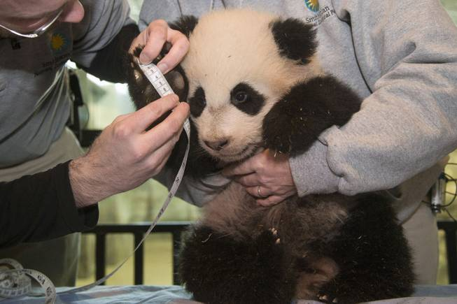Bao Bao, the four and a half month old giant panda cub, has her right forefoot measured at the Smithsonian's National Zoo in Washington, Tuesday, Jan. 7, 2014.