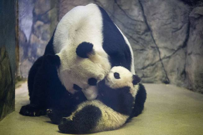 Bao Bao, the four and a half month old giant panda cub, is approached by her mother Mei Xiang in their indoor habitat at the Smithsonian's National Zoo in Washington, Tuesday, Jan. 7, 2014. Bao Bao, who now weighs 17.38 pounds (7.9 pounds), was born to the zoo's female giant panda Mei Xiang and male giant panda Tian Tian.