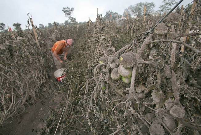 A farmer prematurely harvests tomatoes from a field damaged by volcanic ash from the eruption of Mount Sinabung in Sibintun, North Sumatra, Indonesia, Thursday, Jan. 9, 2014. The volcano has sporadically erupted since September, forcing thousands of people who live around it's slopes to flee their homes.