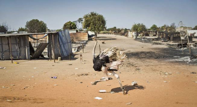 An ostrich runs through empty streets and past destroyed buildings, after government forces on Friday retook from rebel forces the provincial capital of Bentiu, in Unity State, South Sudan, Sunday, Jan. 12, 2014.