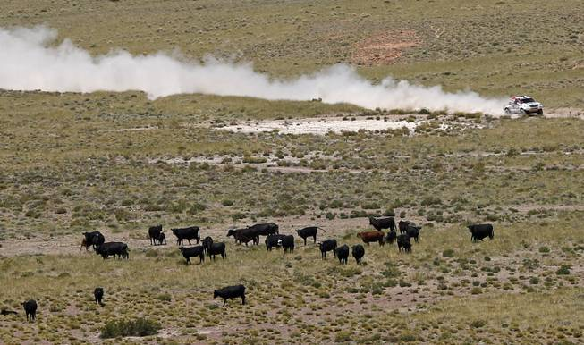 Toyota driver Leeroy Poulter and co-pilot Robert Howie, both of South Africa, race past cattle during the second stage of the Dakar Rally between the cities of San Luis and San Rafael in San Rafael, Argentina,  Monday, Jan. 6, 2014.