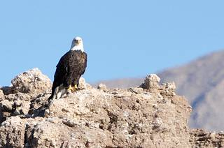 Volunteers and biologists spotted 132 bald eagles at Lake Mead National Recreation Area Jan. 15, 2014 during an annual eagle survey. Bald eagles migrate from the north and can traditionally be spotted at Lake Mead NRA from late-November to March.